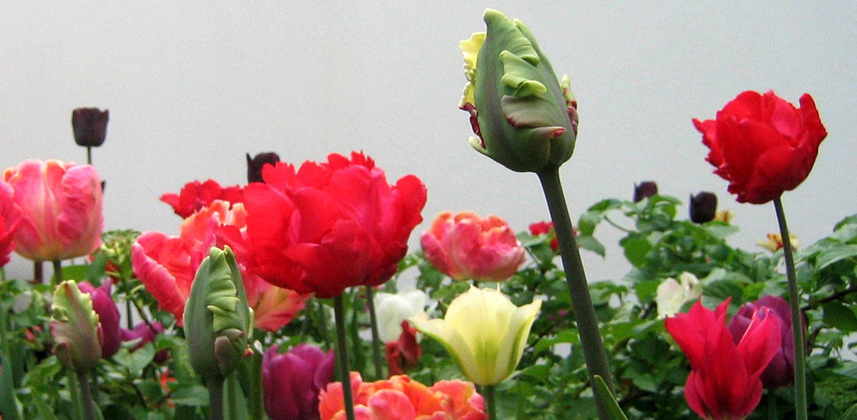 bloembollen tulpen mengsel tegen witte muur Denkers in Tuinen