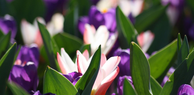 bloembollen crocus Denkers in Tuinen