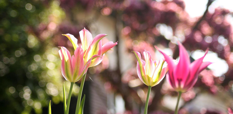 bloembollen Tulpen 'Virichique' voortuin Denkers in Tuinen