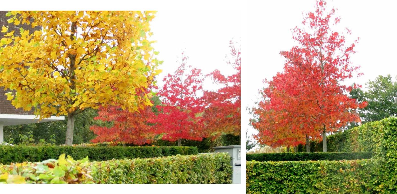 herfstkleuren Liriodendron en Liquidambar in villatuin Dronten. Tuin aan de polderrand van Dronten, gekoppeld aan het omliggende polderlandschap met noodzakelijke windbeschutting - Denkers in Tuinen