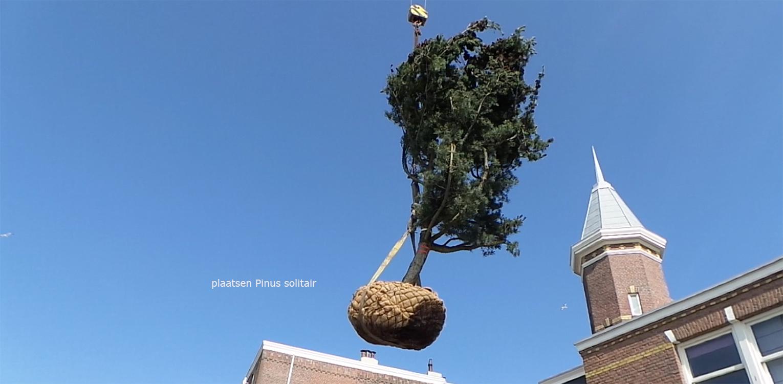 Plaatsen Pinus glauca solitair in stadspatio Scheveningen waar op zeer beperkte ruimte een multifunctionele invulling is gerealiseerd met een zwembad met beweegbare vloer- Denkers in Tuinen